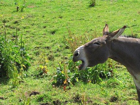 Ass, Animal, Jackass, Donkey, Horse