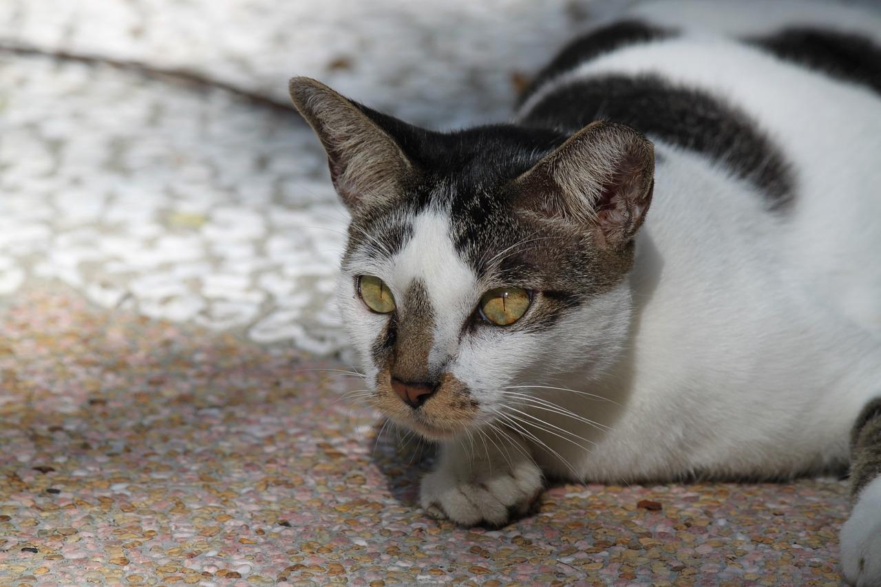 grey tiger cat breed