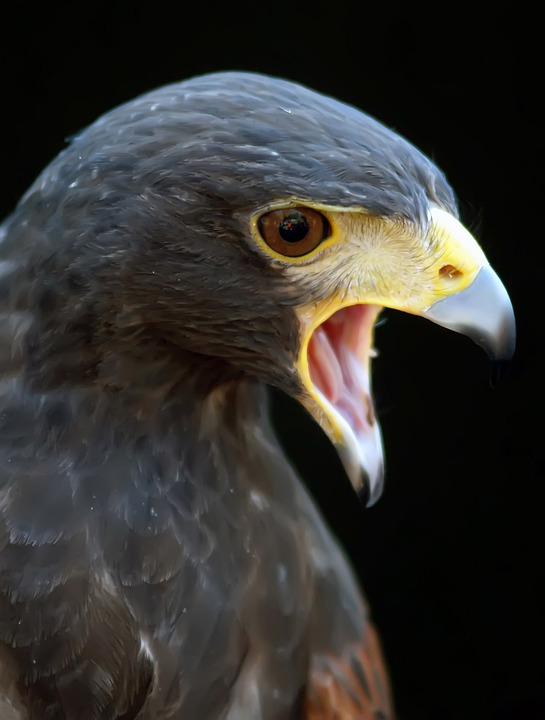 free photo animal harris hawk hunter space free
