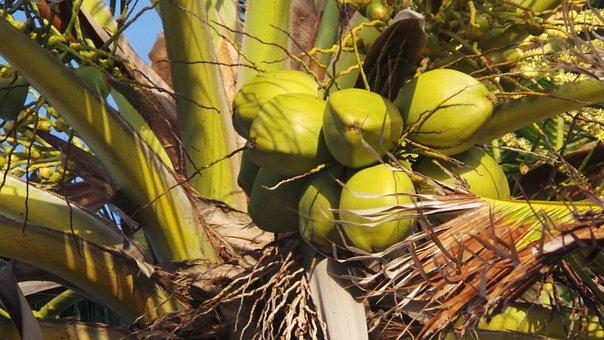 Coconut, Tree, Coconut Tree, Palm