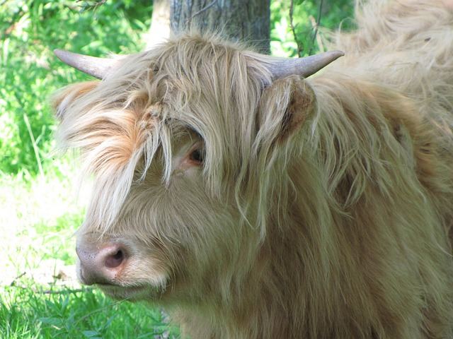 Foto gratis mucca toro vitello animale immagine