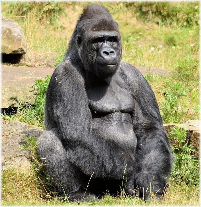 Fotos de gorilas y monos 72