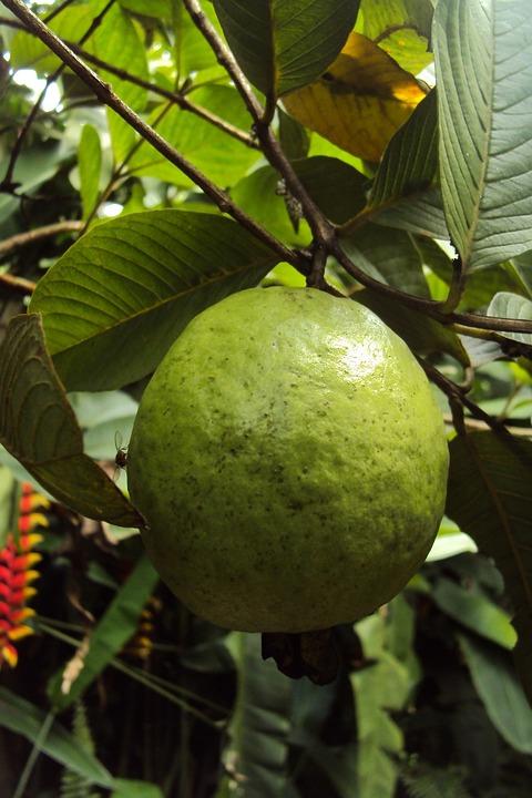 kostenloses foto guave obst guave frucht frisch kostenloses bild auf pixabay 215047. Black Bedroom Furniture Sets. Home Design Ideas