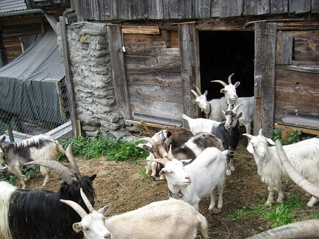 Goats, Many, White, Black, Nature, Wood