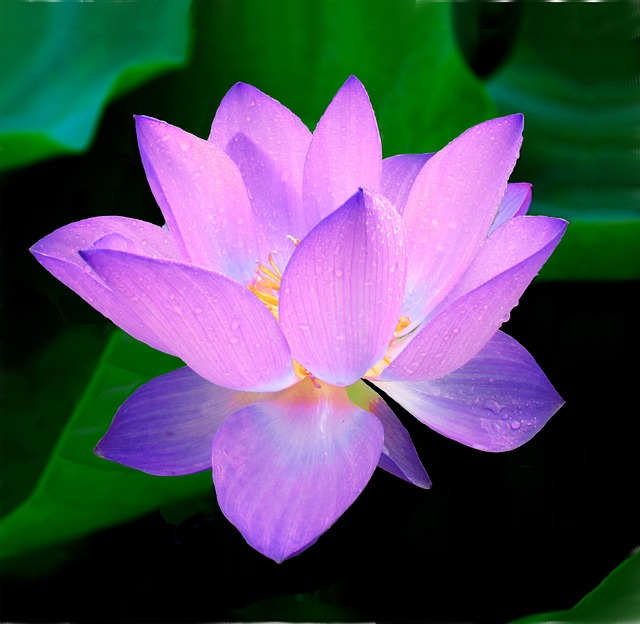 free photo lotus, flower, nymphaea caerulea  free image on, Natural flower