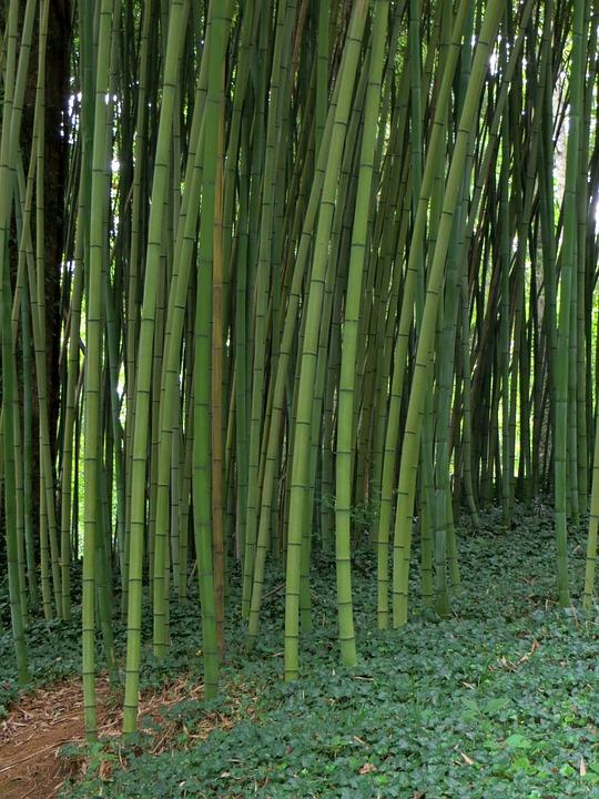 Bambu Kasvi