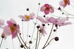 kwiat, różowy, upadek anemon