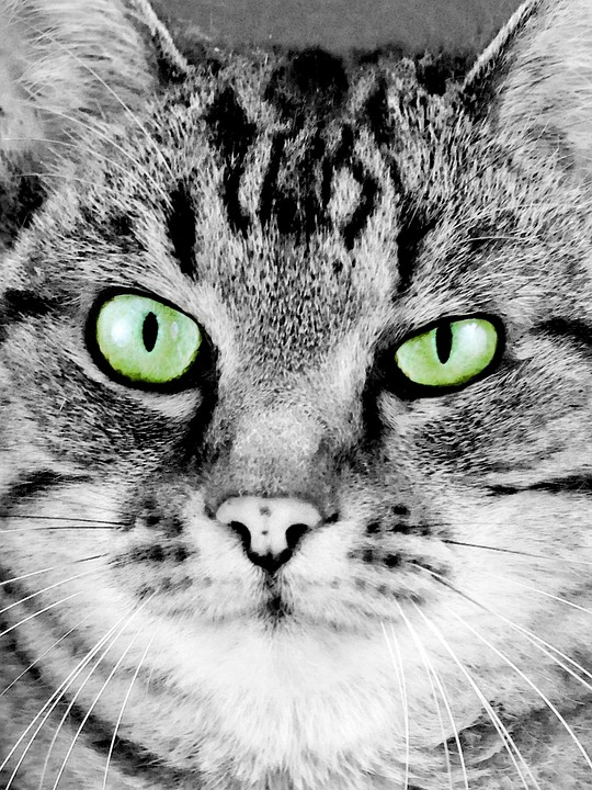 Kedi Yuz Portre Pixabay De Ucretsiz Fotograf