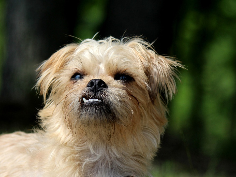 Brussels Griffon, Dog, Small Dog, Terrier, Cute, Funny