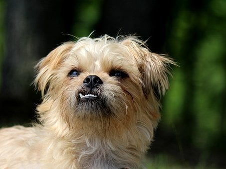 Brussels Griffon, Dog, Small Dog