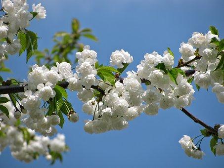 Arbre, Fleur, Fleurs, Printemps, Nature