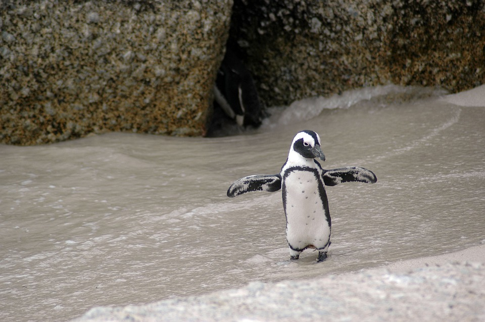 Magellanic Penguin, Spheniscus Magellanicus, Bird