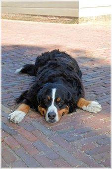 Bernese Mountain Dog, Pedigree, Pet, Dog