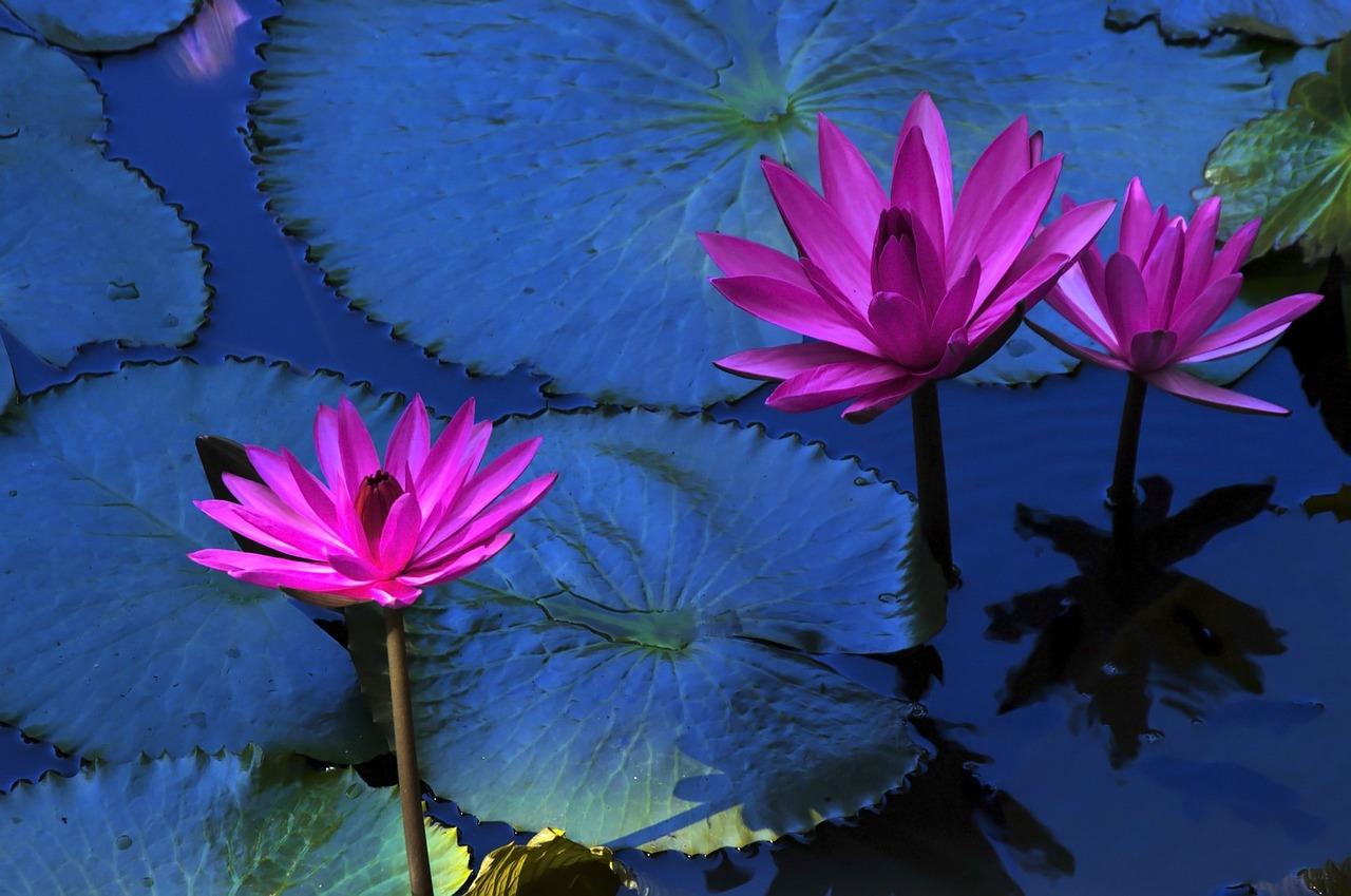 Lyrics Lotus Flower Image Collections Fresh Lotus Flowers