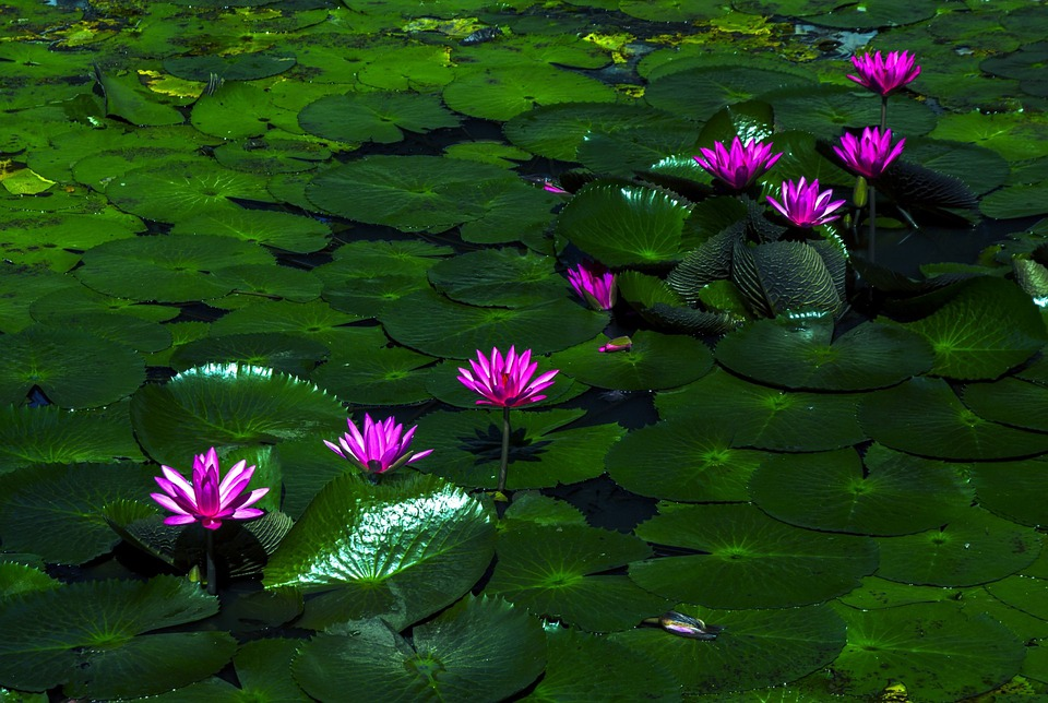 Lotus flower water lily plant free photo on pixabay lotus flower water lily plant aquatic floral mightylinksfo