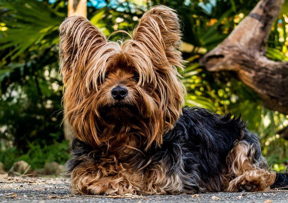 Hond, Yorkshire Terrier, Kleine Hond