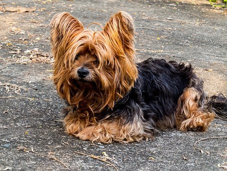 Dog, Yorkshire Terrier, Small Dog