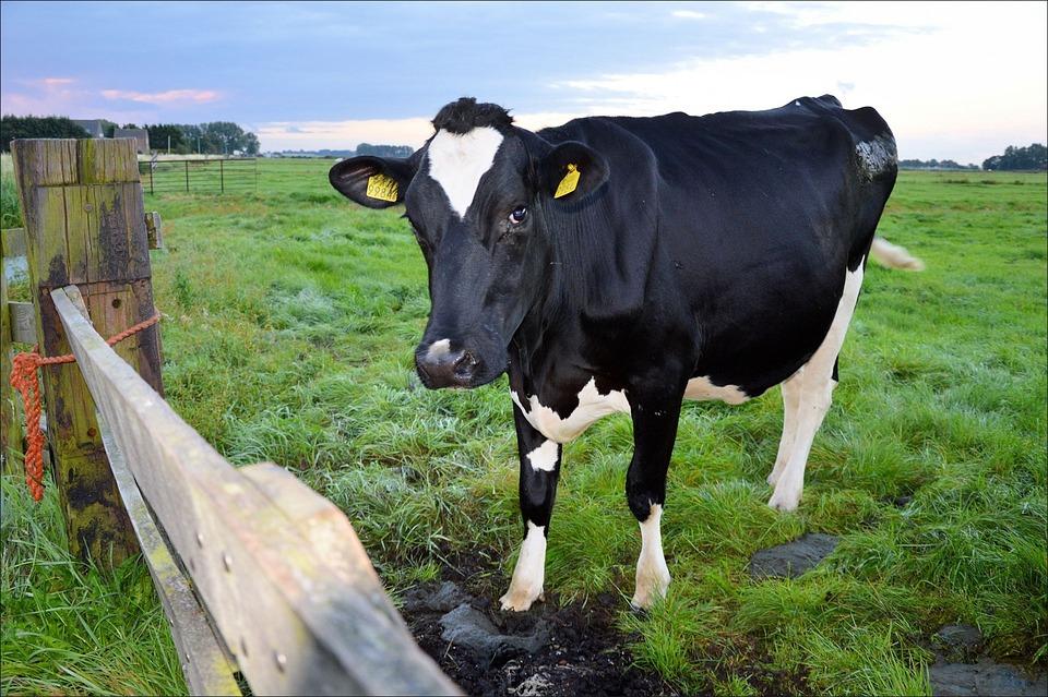 Vaca toro animales foto gratis en pixabay - Parador de la granja fotos ...