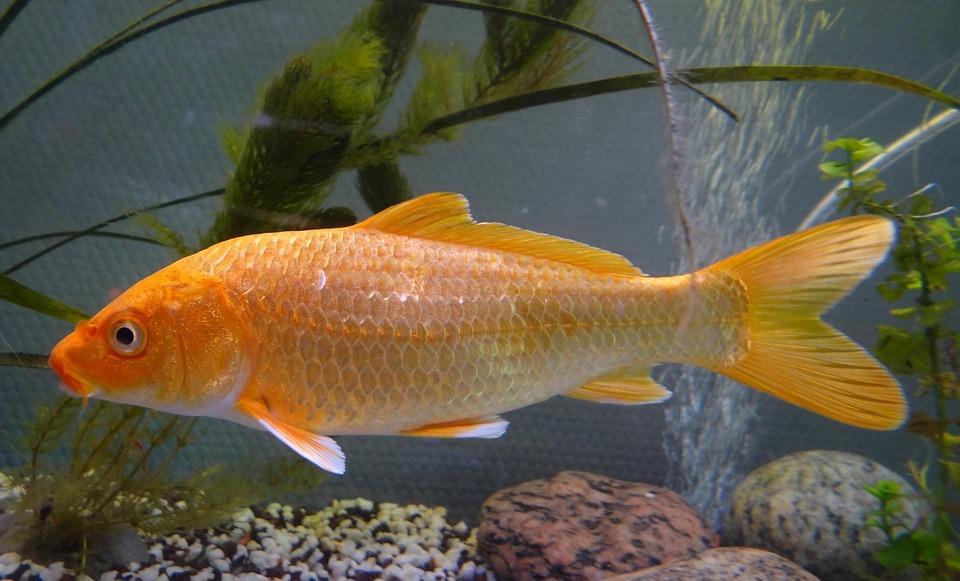 carpa peces koi estanque asia jardn verano cra