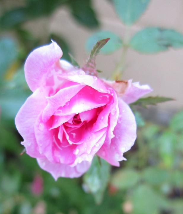 Warna Merah Muda Rose Pink Foto Gratis Di Pixabay