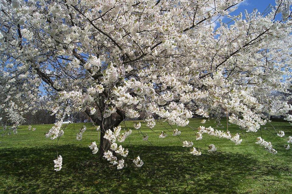 Ilustrasi pohon sakura