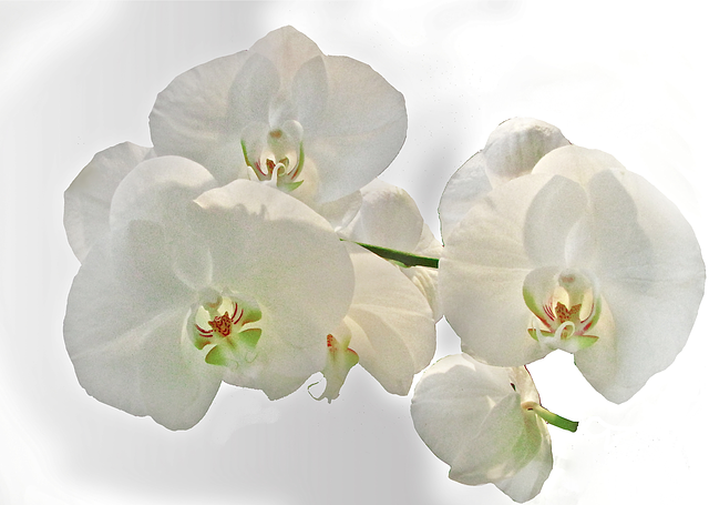 photo gratuite orchid e blanche fleur image gratuite sur pixabay 218260. Black Bedroom Furniture Sets. Home Design Ideas
