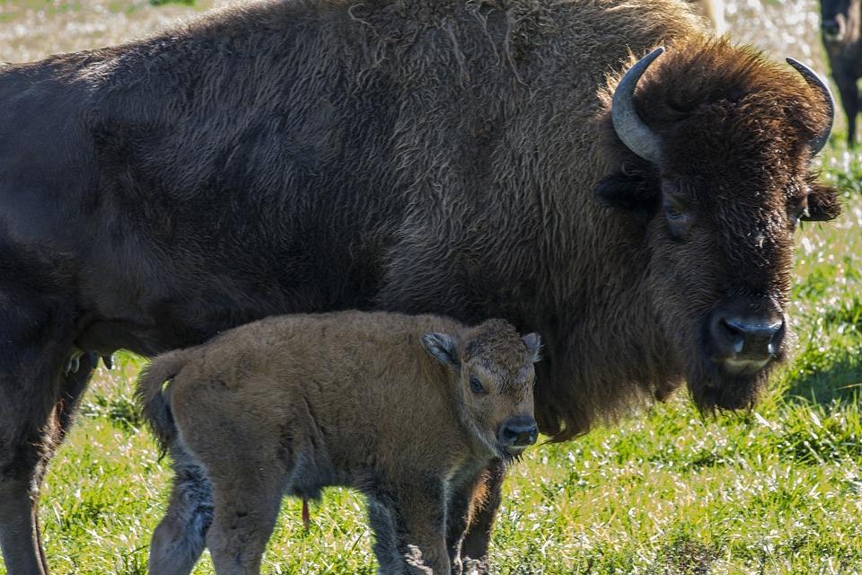 Buffalo Calf Farm 183 Free Photo On Pixabay