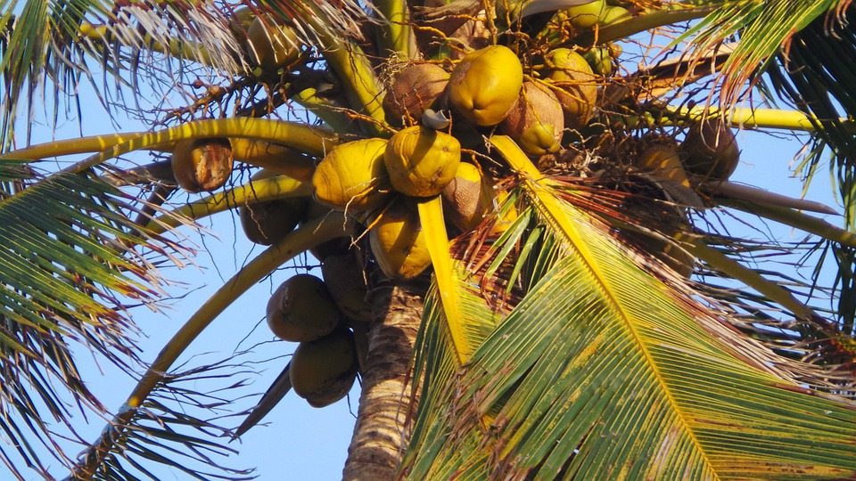 Coco Coconut Tree 183 Free Photo On Pixabay
