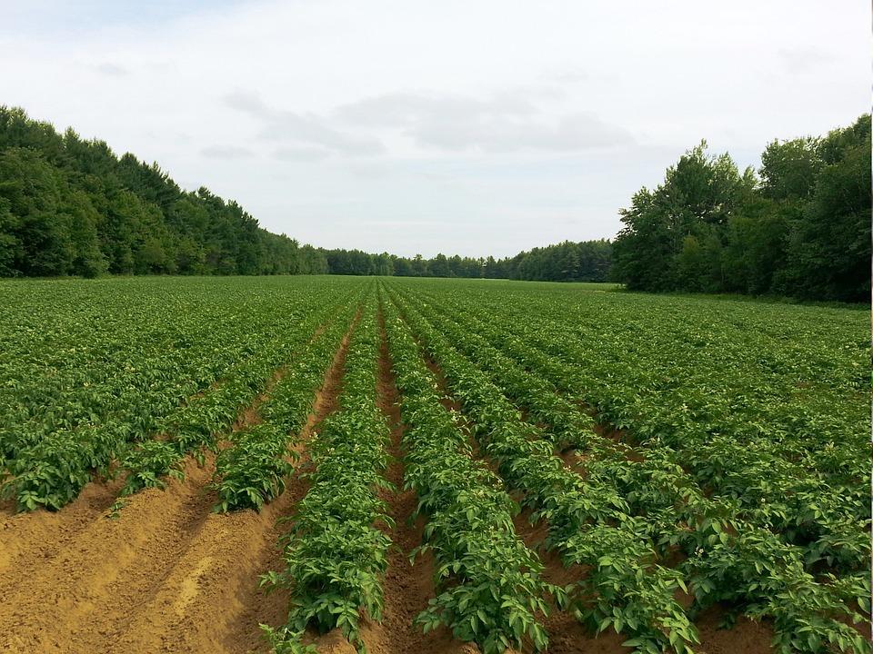 Photo gratuite pomme de terre champs agriculture image gratuite sur pixabay 218865 - Date plantation pomme de terre ...