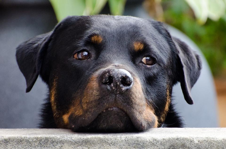 Perro, Cara, Animales, Rottweiler, Primer Plano