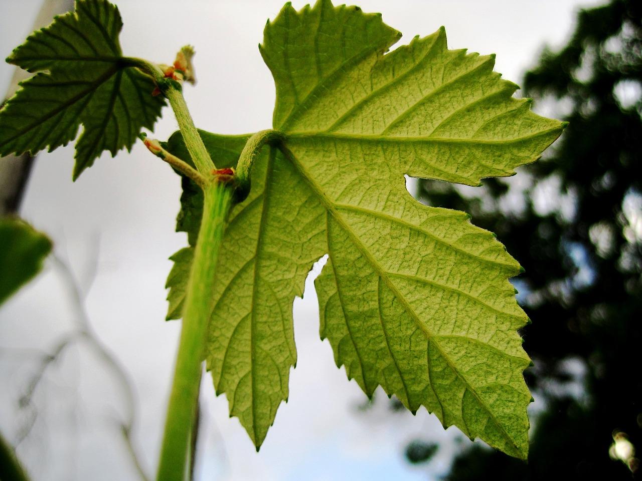 фото листа винограда признаки
