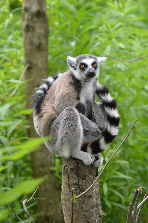 Ring Tailed Lemur Classification