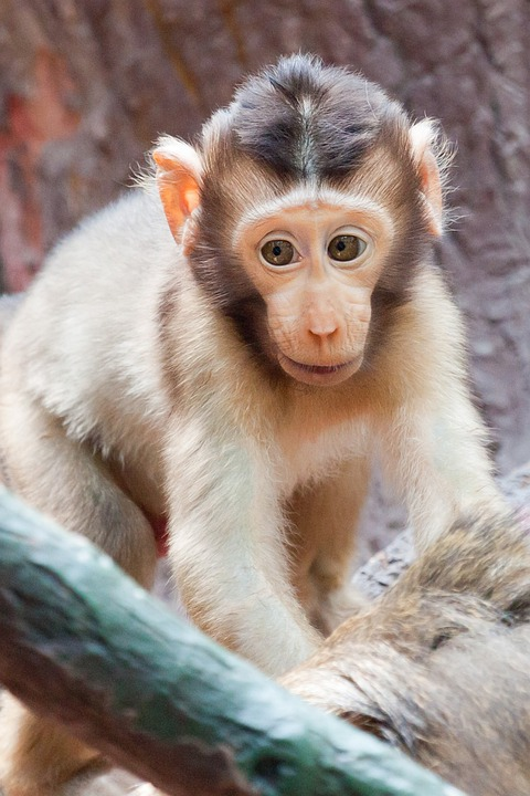 Free Photo Baby Animal Africa Monkey Face Free