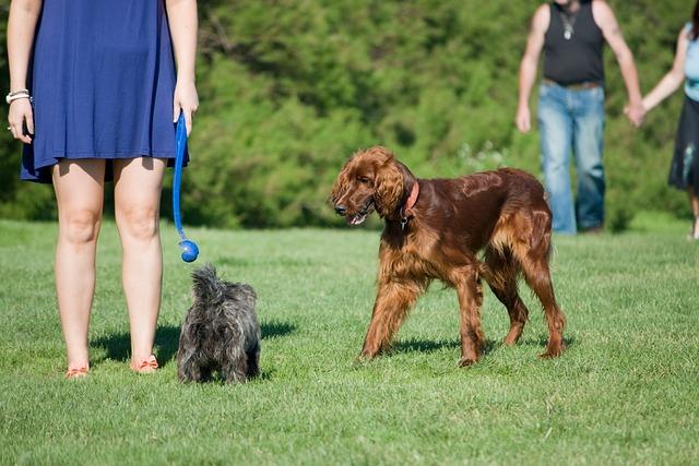 Dog, Dogs, People, Woman, Man, Irish Setter, Red Setter