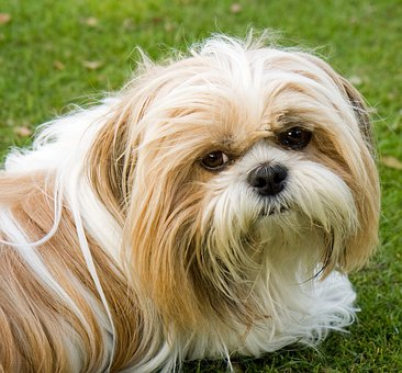 Dog, Shih Tzu, Cute, Animal, Close-Up