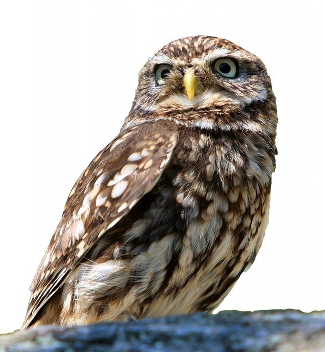 owl bird isolated  u00b7 free photo on pixabay free owl vector graphics free flying owl vector