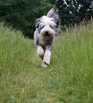 Dog, Bearded Collie, Collie, Running