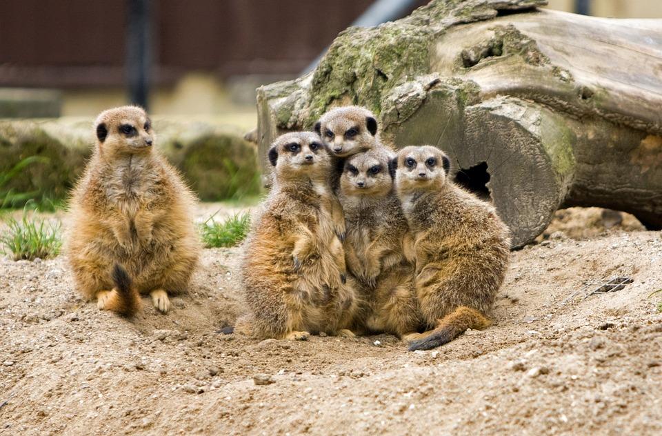 Meerkat, Suricates, Des Animaux, Animaux, Sauvage