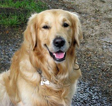 Dog, Beautiful, Golden Retriever