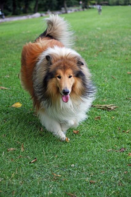 Lassie Koira