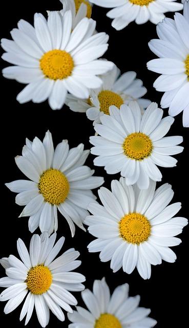 photo gratuite fleurs fleur marguerite image gratuite