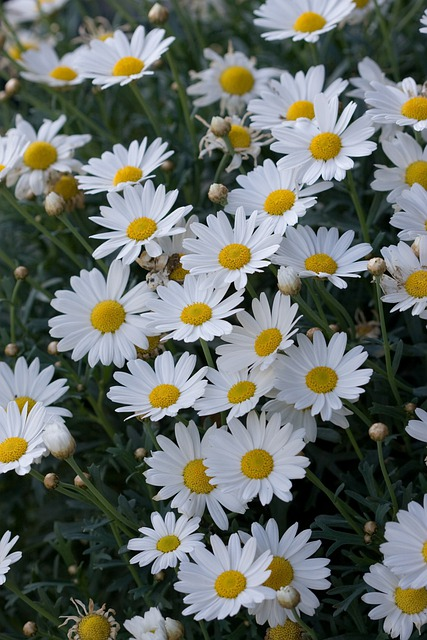 flowers flower daisy 183 free photo on pixabay