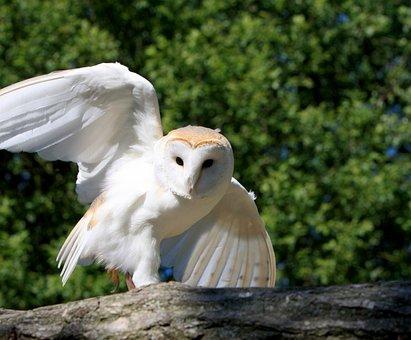 Effraie Des Clochers, Chouette, Oiseau