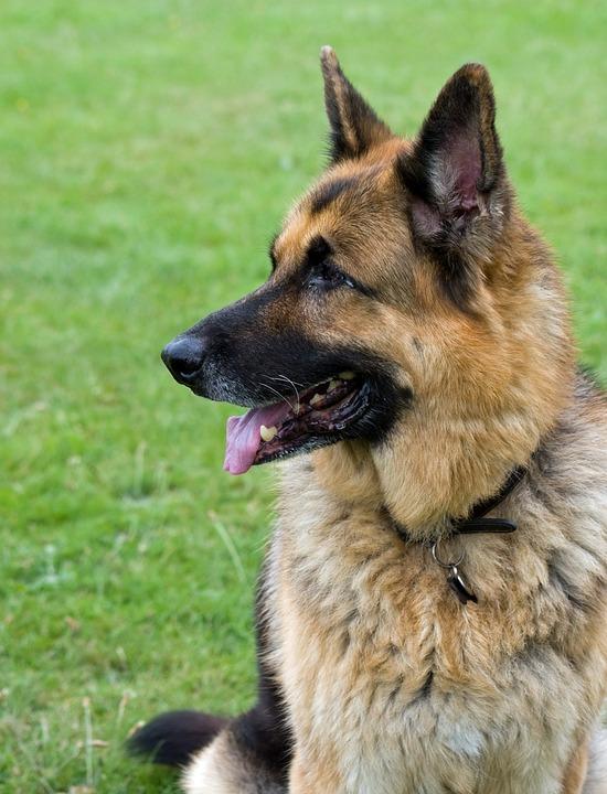Photo gratuite berger allemand chien alsacien image - Berger allemand gratuit ...