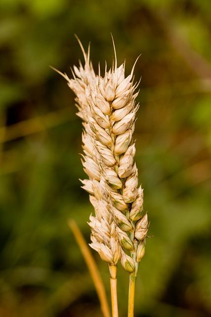 Free photo: Wheat, Sta...
