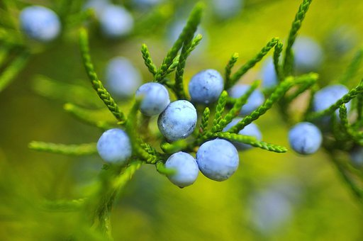 Berries, Blueberries, Fruit, Mature