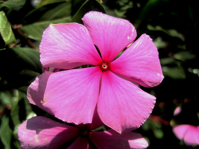 pink flower periwinkle 183 free photo on pixabay