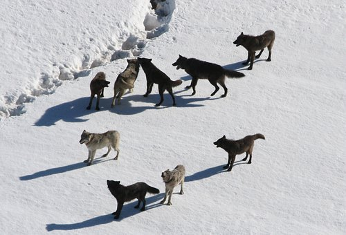 Wolves Wolf Pack Canis Lupus Predator Carn
