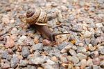 snail, stones, mollusc