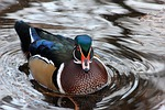 duck, bird, waterfowl
